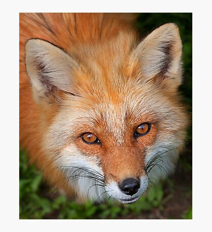 Red Fox close up Photographic Print
