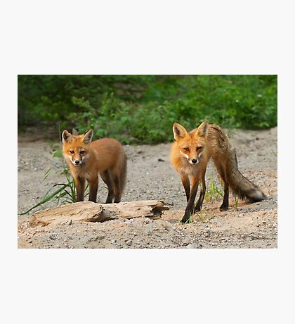 Fox Family - Algonquin Park, Canada Photographic Print