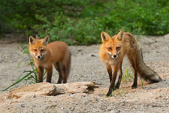 Fox Family - Algonquin Park, Canada by Jim Cumming