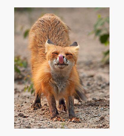 Red Fox Stretch - Algonquin Park, Canada Photographic Print