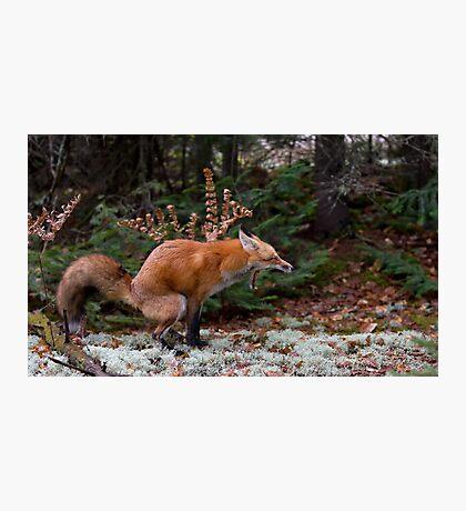 """Damn pine cones!"" - Red Fox Photographic Print"