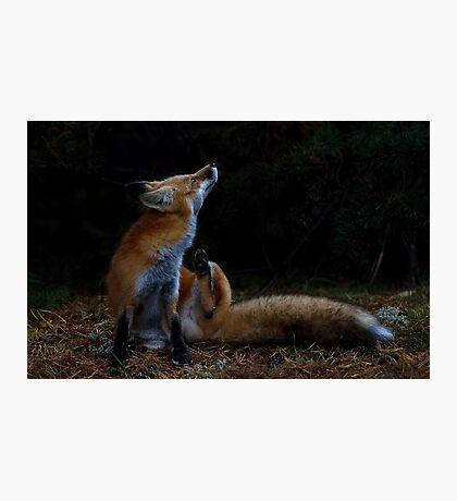 Red Fox itch - Algonquin Park, Canada Photographic Print