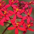 Red Crucifix Orchid  (Epidendrum ibaguense)  by Bev Pascoe