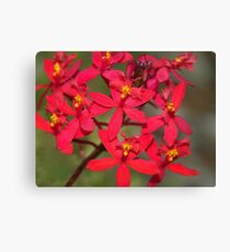 Red Crucifix Orchid  (Epidendrum ibaguense)  Canvas Print