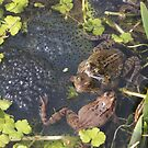 Common Frogs spawning by Steven Allain