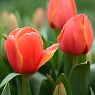 Rain gently falls on World's Favourite tulips by imaginethis