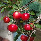 Patio Apples by lezvee