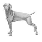 Weimaraner by doggyshop