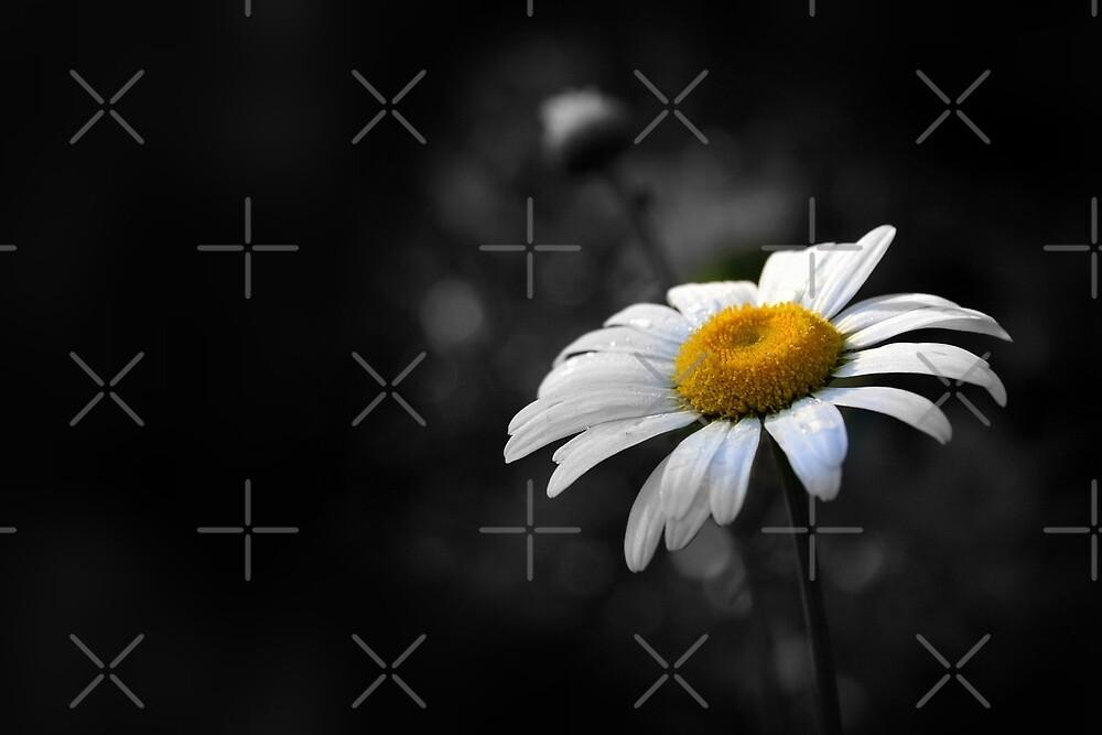 Dainty Daisy by Julie's Camera Creations <><