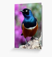 African Superb Starling Watching Intently Greeting Card