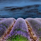 Lavender Field by southmind
