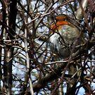 Robin by Steve Hammond