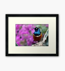 African Superb Starling Perched Before Pink Framed Print