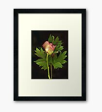 Tree Peony Framed Print