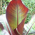 Red Banana leaf unfurling by daretoblossom