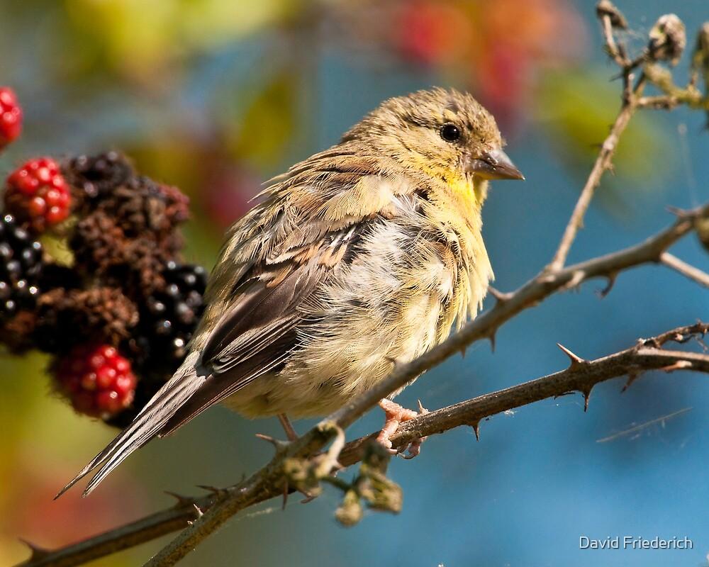 Late Summer Songbird by David Friederich