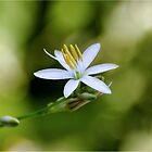 TWINKLE LITTLE STAR -  Chlorophytum bowkeri von Magriet Meintjes
