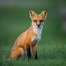 Red Fox by justinrusso