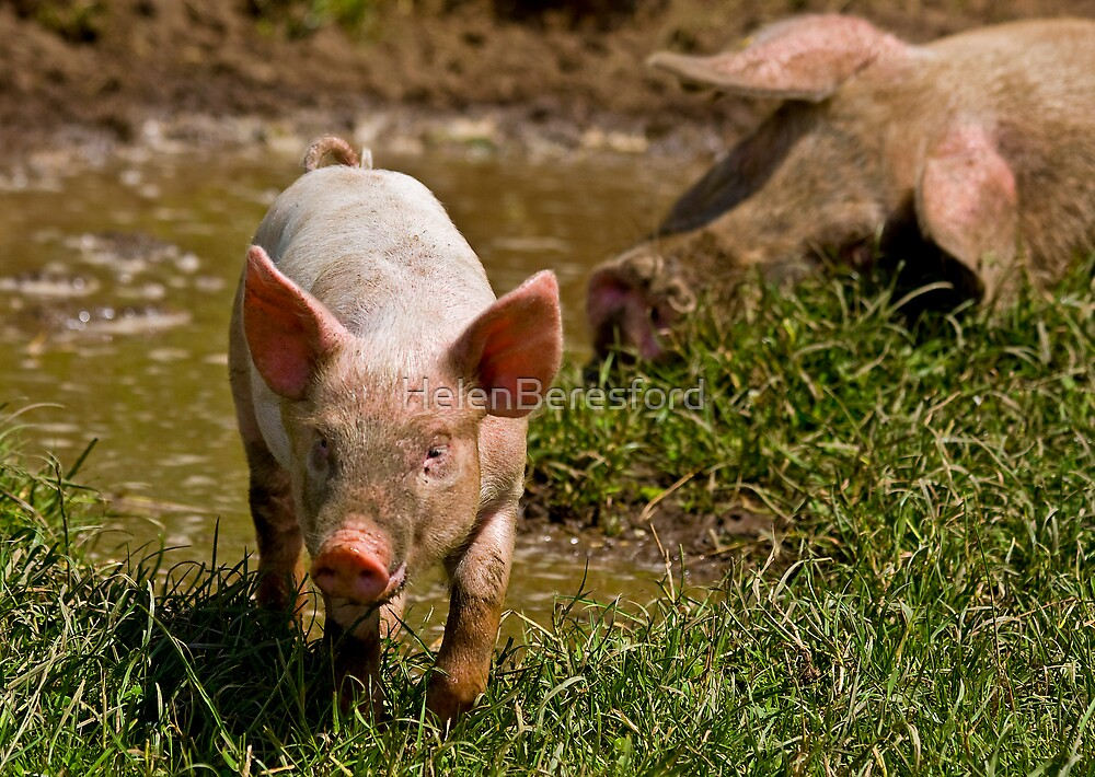 This Little Piggy... by HelenBeresford