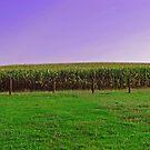 Corn Around The Barnyard by Linda Miller Gesualdo