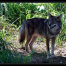 COYOTE by BOLLA67