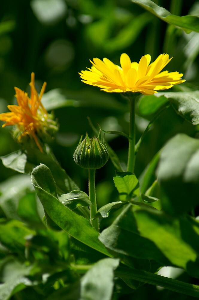English Marigold by miravisu