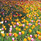 Tulips Everywhere by Sandra Fortier