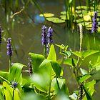 Pond Flowers by barkeypf