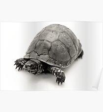 Box Turtle Poster