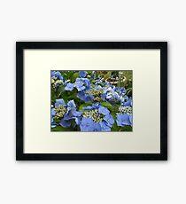 Blue Lace Cap Hydrangea Framed Print