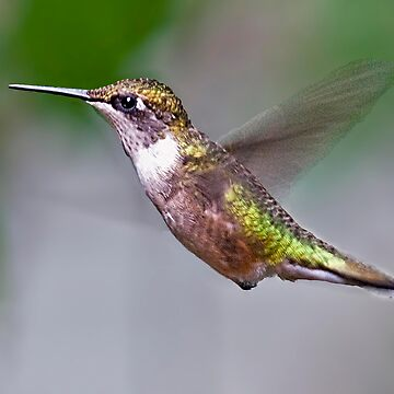 humming bird by emtee656