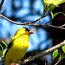Goldfinch In The Dogwood by AngieDavies