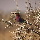 Lilac Breasted Roller by Steve Bullock