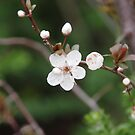 White Cherry Blossom by stace8383