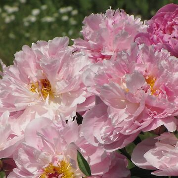 Beautiful flowers, peonies. Bouquet of pink peony background.  by designer437