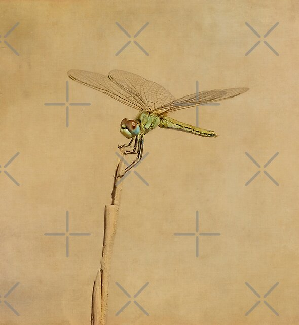 dragonfly by paulgrand