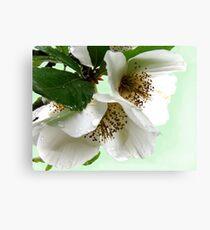Eucryphia flowers Canvas Print