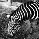 "black and white zebra  by "" RiSH """