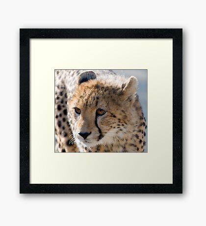 Cheetah Cub Framed Print