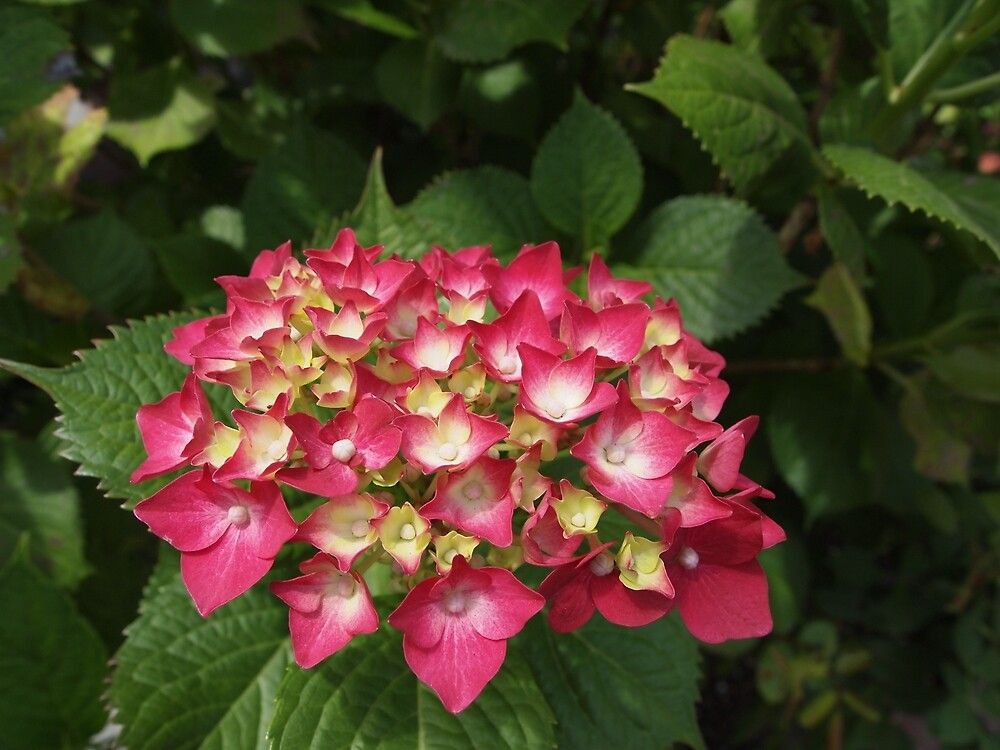 Hydrangea from the neighborhood by Douglas E.  Welch