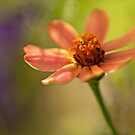 Little Zinnia in Morning Light by Bonnie T.  Barry