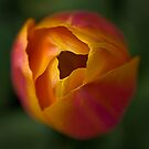 Tulip - square crop by Astrid Authier