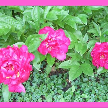 My Peony Garden by michaelrodents