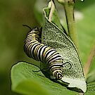 Monarch Caterpillar Special Effects by DigitallyStill