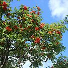 Rowan Berries by Kathryn Jones
