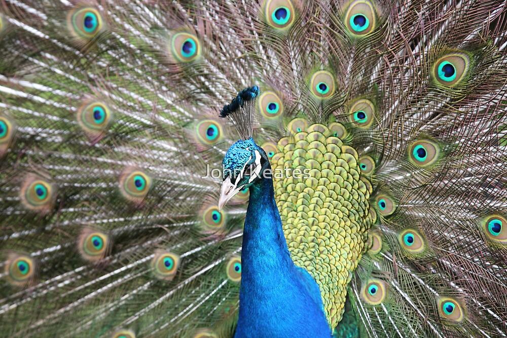 Peacock by John Keates