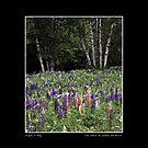 Dance of Lupine and Birch Poster by Wayne King