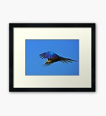 ~Blue Macaw: On the Wing~ Framed Print