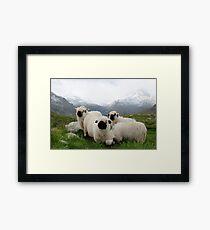 BLACK NOSE SHEEP Framed Print