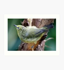Japanese White-Eye Perched Art Print